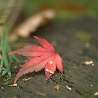 """ Fallen Maple Leaf "" by Richard Couchman"