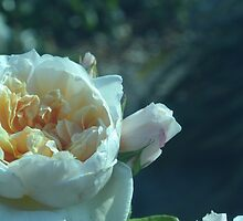 Pale Blue Rose by Jessica Reilly