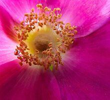 Beach Rose by tlpardon