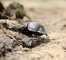 dung beetle by georgemurphy