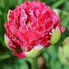 Sharp Tulip by Dani LaBerge