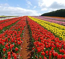 Table Cape Tulip Farm, Tasmania, Australia by Margaret  Hyde