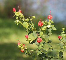 Turks Cap Display by Bob Hardy