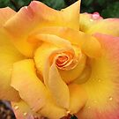 Raindrop Rose by Teacup