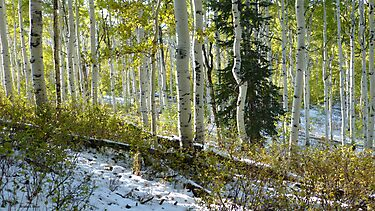 Aspen Highlights with Pine in Snow by BrianAShaw