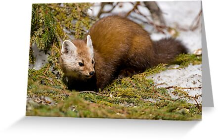 Pine Marten by Michael Cummings