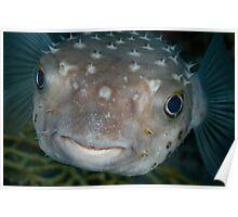 Porcupine fish portrait  Poster