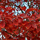Red Leafs of Autumn by Nira Dabush