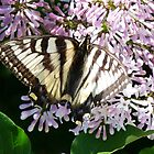 Butterflies Are Free:  Swallowtail 2 by jmc1313