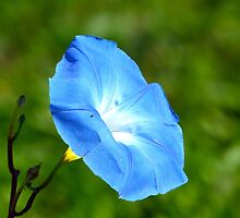 Morning Glory by Susan S. Kline