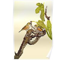 Silvereyes on Fig Tree Poster