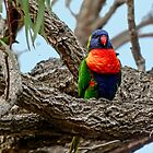 Colorful Parakeet in it's setting. by ronsphotos