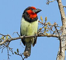 A Black Collared Barbet by jozi1