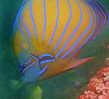 BLUE RINGED ANGELFISH by NICK COBURN PHILLIPS