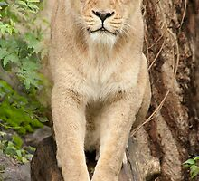 ..Lioness ready to jump you...........[FEATURED] by John44