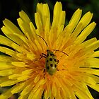 Spotted Cucumber Beetle on Dandelion by Kane Slater