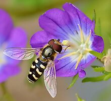 The Beautiful Hoverfly by relayer51