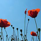 Poppies by Adrian McGlynn