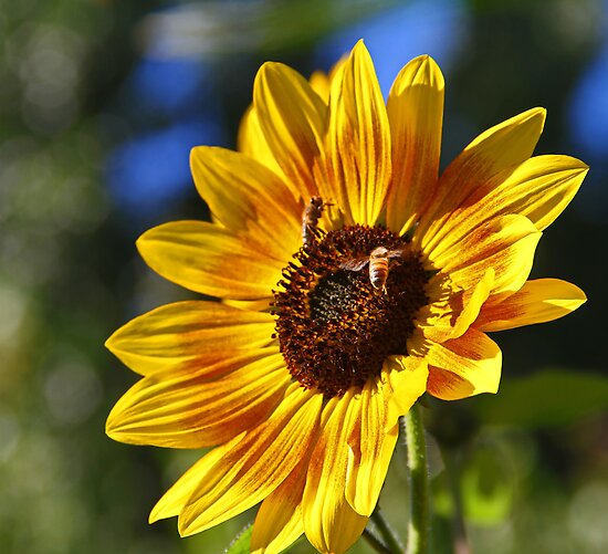 Small Sunflower by Chet  King