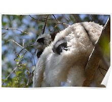 Peeping Verreaux's Sifaka  Poster