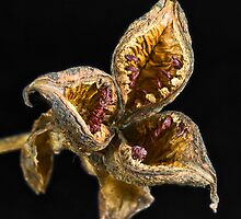Spent Peony Seed Pod by Otto Danby II
