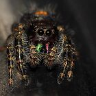 Bold Jumping Spider by Kane Slater