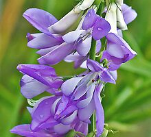 Goat's Rue by MikeSquires