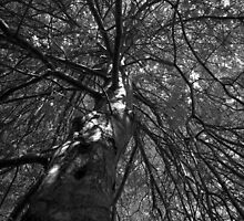 Scary Tree- Oak, Mount Lofty House by Ben Loveday