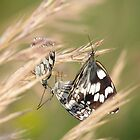 Mating Butterflies by solena432