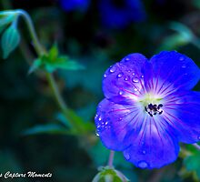 Pansy by Tina Hailey