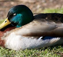 Sleeping duck by ejrphotography