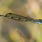 Damselfly by srhayward