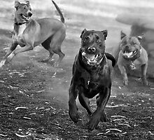 Dogs with game face on .29 by Alex Preiss