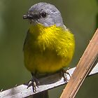 Eastern Yellow Robin by Doug Cliff