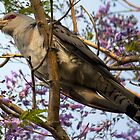Channel-billed Cuckoo  by Doug Cliff