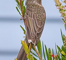 Little Wattle Bird by Kim Ogden