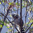 Ring Tailed Lemur, Mother And Baby by Sauropod8
