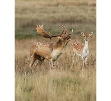 Fallow Buck and Doe Photographic Print