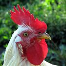 Rooster Portrait by branko stanic