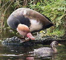 Red Crested Pochard Seeing Off Dabchick by Alan Forder