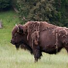 Bison Bull in Spring by TeresaB