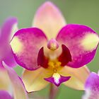 homestead orchids by Iris Mackenzie