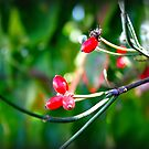 Red Berries by WeeZie