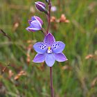 Common Tasmanian Orchids by Kate Hibbert