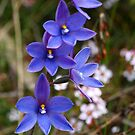 Thelymitra ixiodes by Kate Hibbert