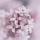 Macro Misty Lilac Dreams  by edesigns14