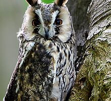 Long Eared Owl  by buttonpresser