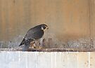Peregrine Falcon Falco Peregrinus with chicks by Donovan wilson
