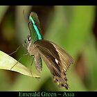 Emerald Peacock Butterfly by Kimberly Chadwick