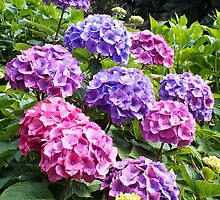 Hydrangeas at Trebah Gardens by Ludwig Wagner